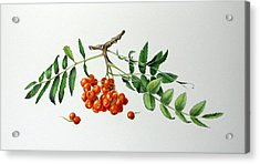 Mountain Ash With Berries  Acrylic Print by Margit Sampogna