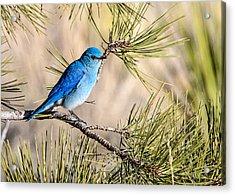 Mountain Bluebird In A Pine Acrylic Print