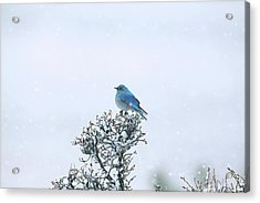 Mountain Bluebird In Snow Acrylic Print by Pat Gaines