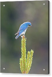 Mountain Bluebird Acrylic Print