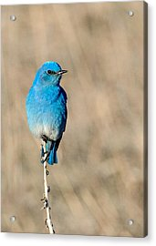 Mountain Bluebird On A Stem. Acrylic Print