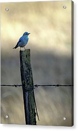 Mountain Bluebird On Wood Fence Post Acrylic Print