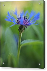 Mountain Bluet Flower Acrylic Print by Don Zawadiwsky