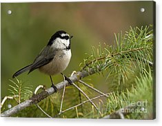 Mountain Chickadee Acrylic Print by Beve Brown-Clark Photography