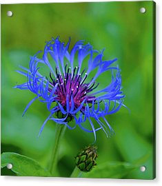 Mountain Cornflower Acrylic Print