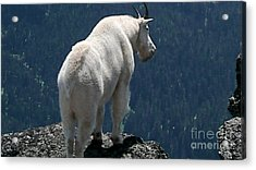 Mountain Goat 2 Acrylic Print by Sean Griffin
