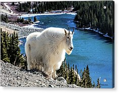 Mountain Goat At Lower Blue Lake Acrylic Print