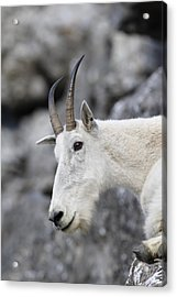 Mountain Goat At Rest Acrylic Print by Michael Bowland