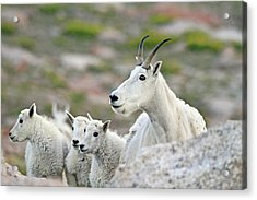 Acrylic Print featuring the photograph Mountain Goat Family by Scott Mahon