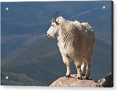Acrylic Print featuring the photograph Mountain Goat by Gary Lengyel