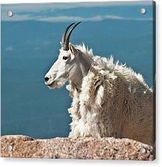 Mountain Goat King Of Mount Evans Acrylic Print