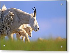 Acrylic Print featuring the photograph Mountain Goat Light by Scott Mahon