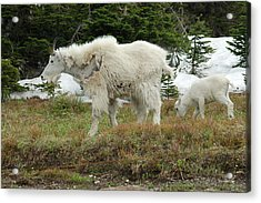 Mountain Goat Mom And Baby Acrylic Print by D Nigon