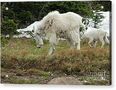 Mountain Goat Mom And Baby II Acrylic Print by D Nigon