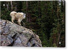 Mountain Goat Near Quandary Peak Acrylic Print