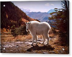 Mountain Goat Acrylic Print by Patricia Montgomery