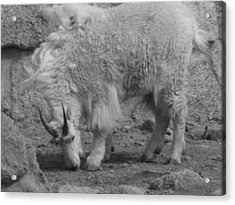 Mountain Goat Acrylic Print by Peter  McIntosh