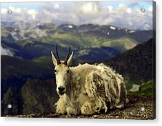 Mountain Goat Resting Acrylic Print by Sally Weigand