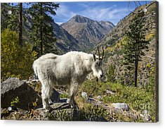 Mountain Goat Sentry Acrylic Print