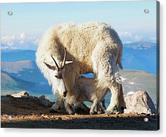 Mountain Goats Nanny And Kid Acrylic Print