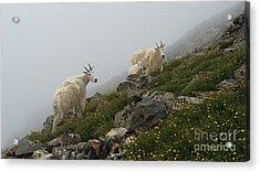 Mountain Goats On Quandary Peak Acrylic Print