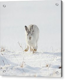 Mountain Hare Approaching Acrylic Print
