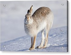 Mountain Hare In The Snow - Lepus Timidus  #2 Acrylic Print