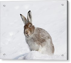Mountain Hare In Winter Acrylic Print