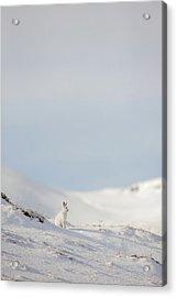 Mountain Hare On Hillside Acrylic Print