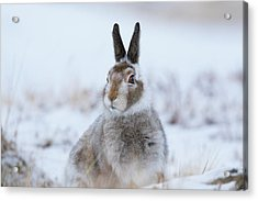 Mountain Hare - Scotland Acrylic Print