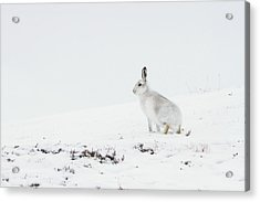 Mountain Hare Side On Acrylic Print