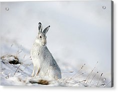 Mountain Hare Sitting In Snow Acrylic Print