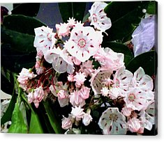 Mountain Laurel  Acrylic Print by Donna Dixon