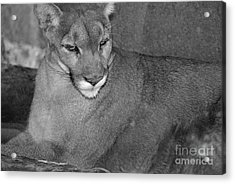 Mountain Lion - Sonoran Desert Museum  Acrylic Print by Donna Greene
