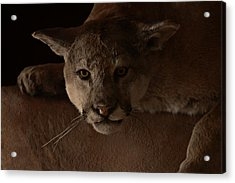 Mountain Lion A Large Graceful Cat Acrylic Print by Christine Till