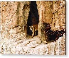 Mountain Lion In The Desert Acrylic Print