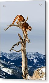 Mountain Lion In Tree Acrylic Print