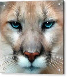 Mountain Lion Acrylic Print by Julie L Hoddinott