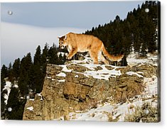 Mountain Lion On Rocks Acrylic Print