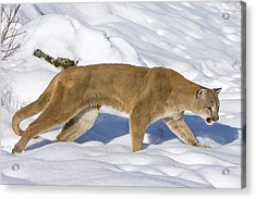 Mountain Lion Puma Concolor Hunting Acrylic Print by Matthias Breiter