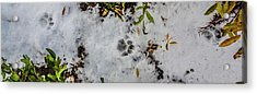 Mountain Lion Tracks In Snow Acrylic Print
