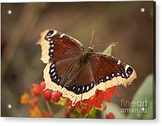 Mourning Cloak Butterfly Acrylic Print by Ana V Ramirez