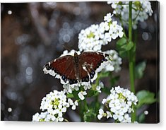Mourning Cloak Acrylic Print by Jason Coward