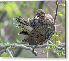 Mourning Dove 9457 Acrylic Print by Tam Ryan