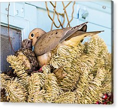 Mourning Dove And Chick Acrylic Print by Steven Ralser