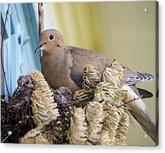 Mourning Dove And Chicks 2 Acrylic Print by Steven Ralser