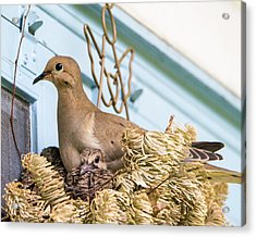 Mourning Dove And Chicks 4 Acrylic Print by Steven Ralser