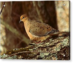 Mourning Dove At Dusk Acrylic Print