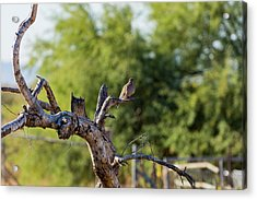Mourning Dove In Old Tree Acrylic Print