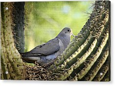 Mourning Dove In The Morning  Acrylic Print by Saija  Lehtonen